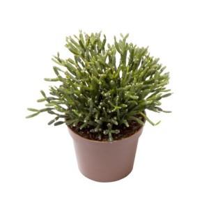 Hatiora bambusoides (Gasa DK)