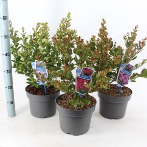 Lagerstroemia indica WITH LOVE MIX