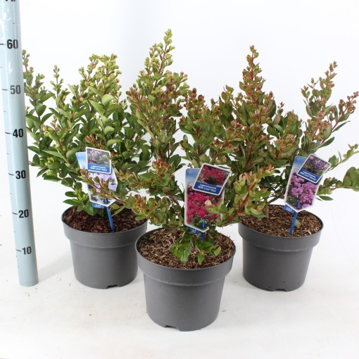 Lagerstroemia indica WITH LOVE MIX (About Plants Zundert BV)