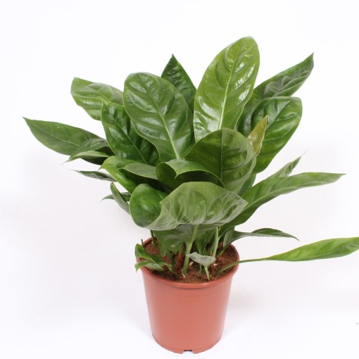 Anthurium ellipticum JUNGLE KING (Fachjan)