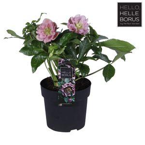 Helleborus orientalis 'Double Ellen Spotted Pink'