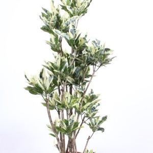 Codiaeum variegatum 'Tamara'