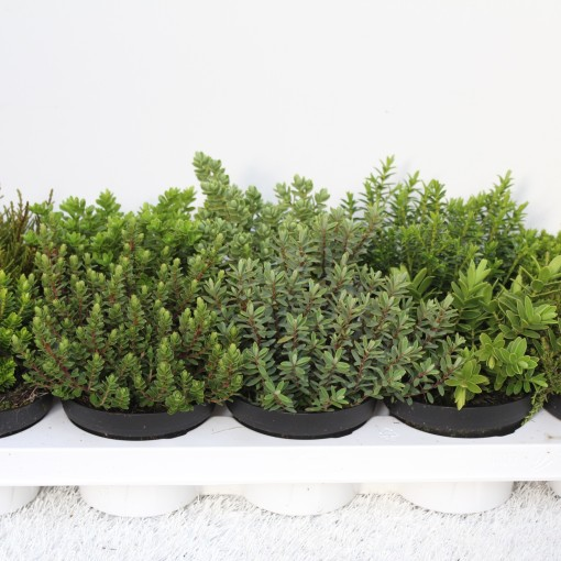 Hebe MIX (Experts in Green)