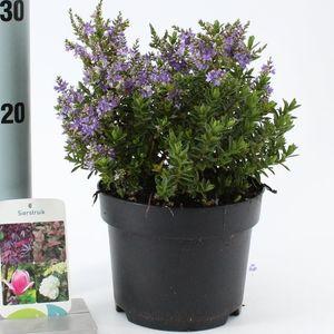 Hebe GARDEN BEAUTY BLUE (About Plants Zundert BV)