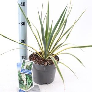 Yucca filamentosa 'Bright Edge'