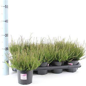 Calluna vulgaris GARDEN GIRLS APHRODITE (About Plants Zundert BV)