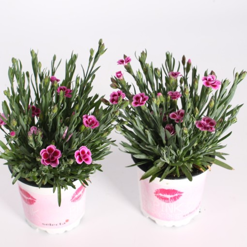 Dianthus PINK KISSES (Special Plant Zundert)