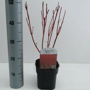 Cornus alba 'Sibirica' (Hooftman boomkwekerij)
