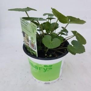 Eutrema japonicum 'Mephisto Green'