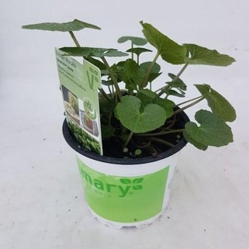 Eutrema japonicum 'Mephisto Green' (Experts in Green)