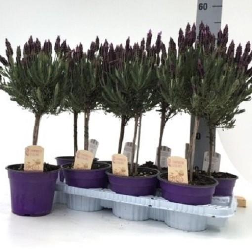 Lavandula stoechas (Green Collect Sales)