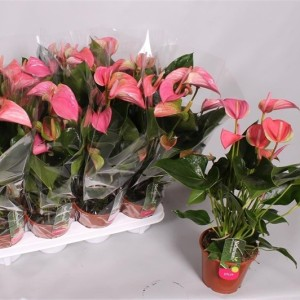 Anthurium JOLI (Postplants)