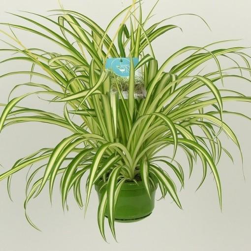 Chlorophytum comosum 'Vittatum' (Elstgeest)