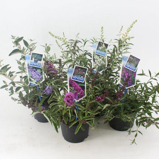 Buddleja FREE PETITE MIX (About Plants Zundert BV)