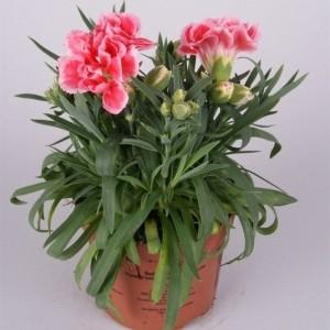 Dianthus SUPER TROUPER ELISE