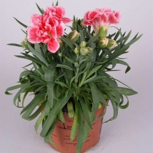 Dianthus SUPER TROUPER ELISE (Rodon Rolff B.V.)