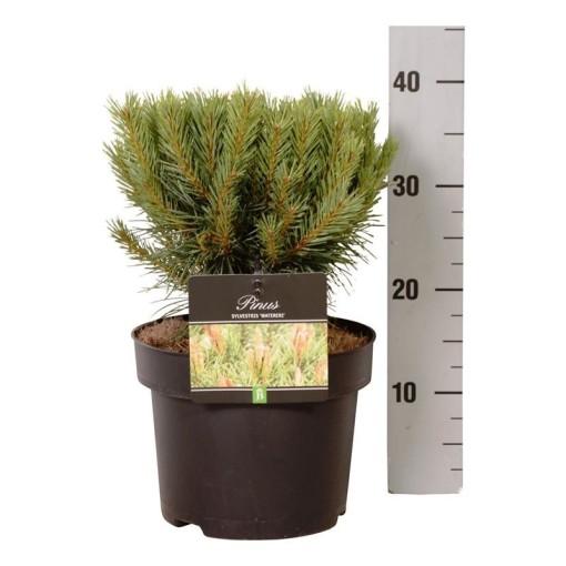 Pinus sylvestris 'Watereri' (Boomkamp Boomkwekerijen B.V.)