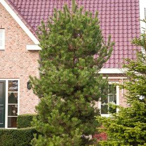 Pinus nigra nigra (Bremmer Boomkwekerijen)