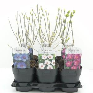 Hibiscus syriacus MIX (Hooftman boomkwekerij)
