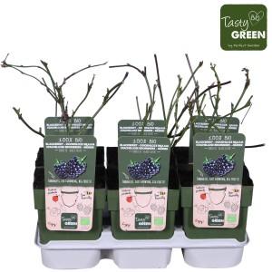 Rubus fruticosus 'Black Satin' (Hoogeveen Plants)