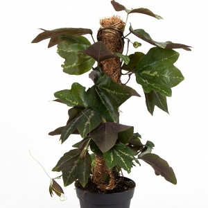 Passiflora tricuspis