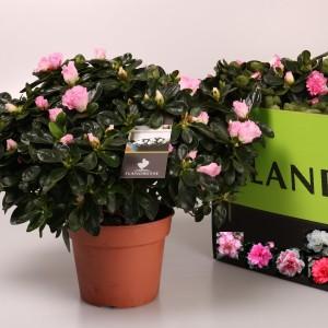 Rhododendron AZALEA MIX (De Bruyne - Flandresse)