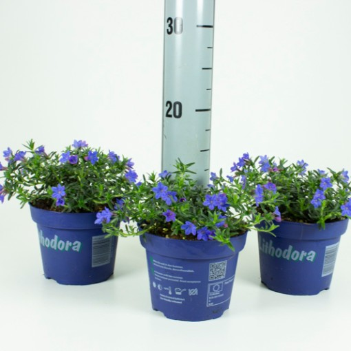 Lithodora diffusa (Experts in Green)