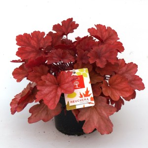 Heuchera 'Boysenberry'