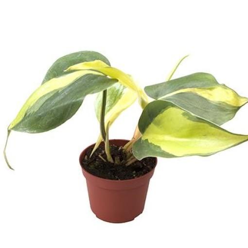Philodendron scandens 'Brasil' (Gasa DK)