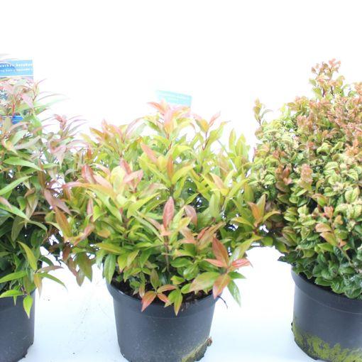 Leucothoe MIX (About Plants Zundert BV)