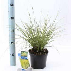 Carex brunnea 'Variegata'