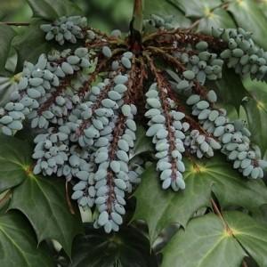 Mahonia bealei (About Plants Zundert BV)