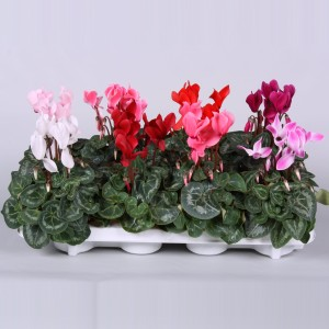 Cyclamen persicum SUPER SERIE S ALLURE MIX (Endhoven Flowering Plants)