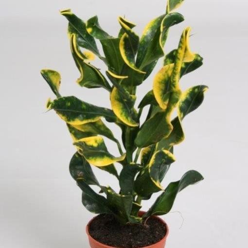 Codiaeum variegatum 'Mini Curly' (Hkw. van der Velden)