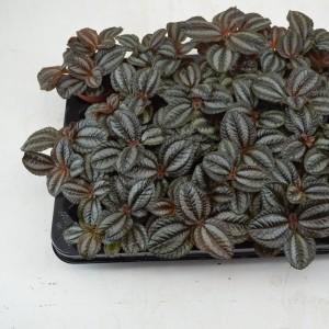 Pilea 'Norfolk' (Schoenmakers Tropische Potcultures)