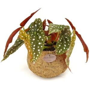 Begonia maculata (Kokodama)