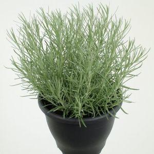 Helichrysum italicum 'Silvery White'