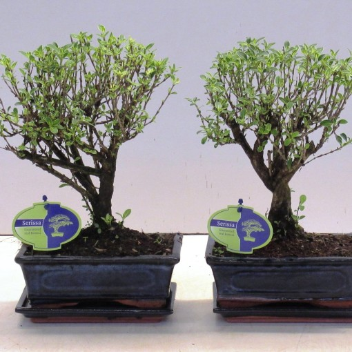 Serissa foetida 'Variegata' (Lodder Bonsai BV)