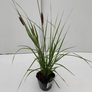 Pennisetum massaicum 'Red Bunny Tails'
