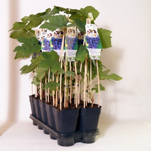 Vitis 'Frankenthaler' (BOGREEN Outdoor Plants)