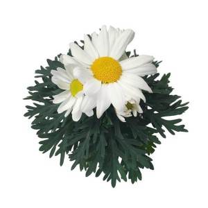 Argyranthemum frutescens 'Dana'