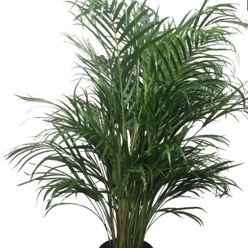 Dypsis lutescens (MDK Plants)