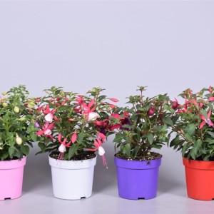 Fuchsia BELLA MIX (Adrichem Potplanten)