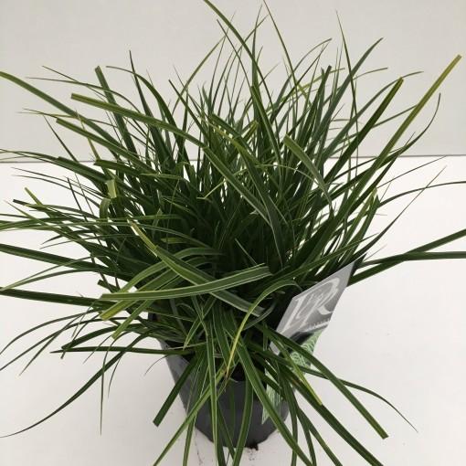 Carex morrowii 'Variegata' (Cammeraat Potcultuur)