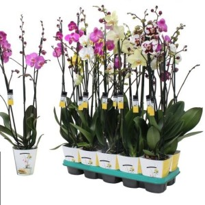 Phalaenopsis MIX (Ter Laak Orchids)