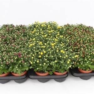 Chrysanthemum GARDENMUMSAIC MIX