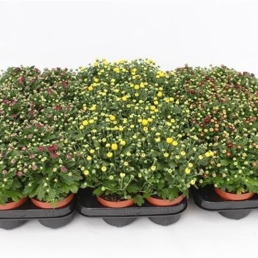 Chrysanthemum GARDENMUMSAIC MIX (Gebr. Grootscholten)