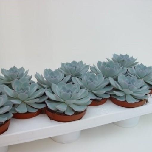 Echeveria colorata (van der Hoorn Succulenten)