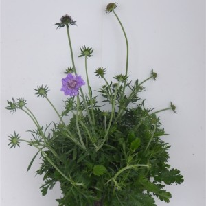 Scabiosa japonica (Experts in Green)
