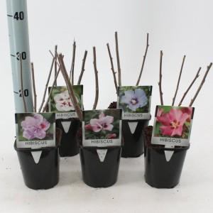 Hibiscus syriacus MIX